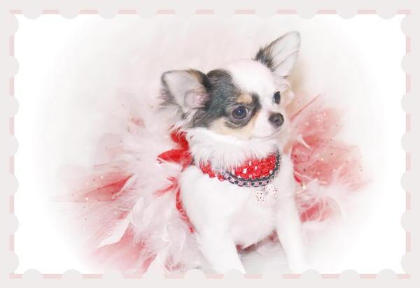 Wagsalot Chihuahuas